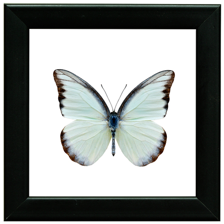 Chocolate Albatross (Appias lyncida vasava) fine pale green to white butterfly in collection black wood frame
