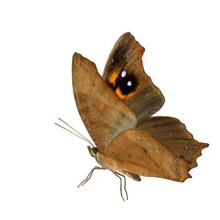 Beautiful flying Common Evening Brown butterfly (Melanitis leda) fully wings stretched in natural color profile isolated on white background, exotic nature Stock Photo