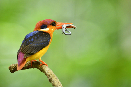 Oriental dwarf (Ceyx erithaca) black-backed or three-toed kingfisher perching on branch carrying small lizard to feed its babies Standard-Bild
