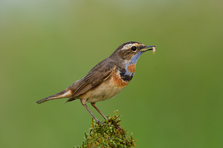 Male of Bluethroat (Luscinia svecica), beautiful brown bird with blue shaded feathers on its breast and chin orange marking on its chest standing over mossy spot carrying worm meal in his beaks