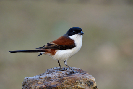 Fascinated animal, red bird with black head long tail and white belly slender shape while perching on rock Stock Photo