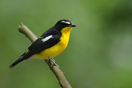 beautiful vivid yellow chest with black wings and white marking perching on thin branch over fine green background in nature, yellow-rumped flycatcher (Ficedula zanthopygia)