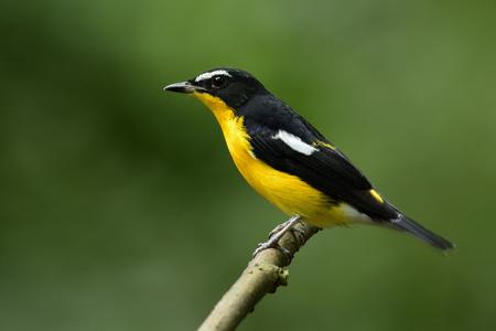 Beautiful slimmy yellow bird perching on thin wooden branch in low lighting habitatation in nature, yellow-rumped flycatcher (Ficedula zanthopygia)