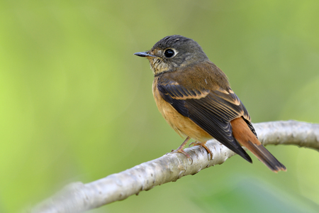 Ferruginous flycatcher (muscicapa ferruginea) cute brown bird with grey head and large eyes perching on tree branch in garden, fascinated nature Stock Photo