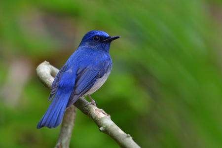 Hainan Blue Flycatcher (Cyornis hainanus) lovely bright blue bird with big eyes perching on wooden branch in forest showing beautiful back and tail, exotic nature Stock Photo