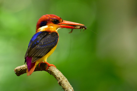 Oriental dwarf kingfisher (Ceyx erithaca)  black-backed or three-toed kingfisher, little vivid orange bird perching on tree branch carrying insect to feed its chicks in hole nest