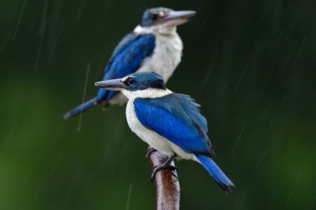 Soaking birds perching on wet branch in rainny day, Baby Collared kingfisher with her mom in lovely moment