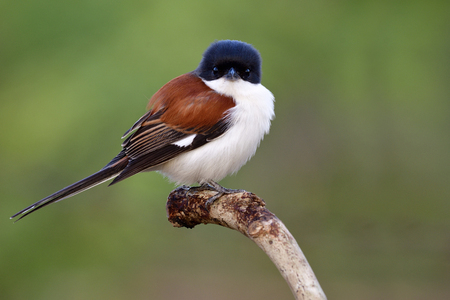 Exotic nature, red bird with black head long tail and white belly calmly perching on wooden spot makes itself puffy feathers in cold morning