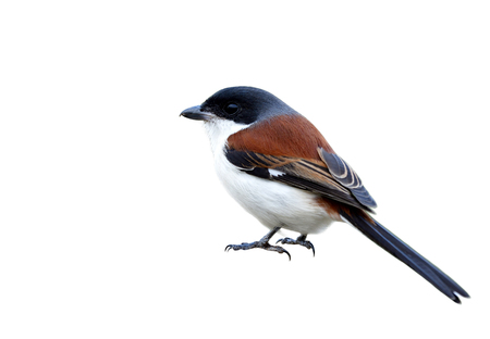 Male of Burmese Shrike (Lanius collurioides) fascinated red back grey head and puffy white belly feahers with strong claws isolated on white background, beautiful nature Imagens