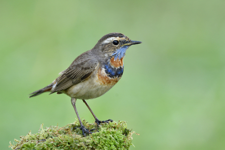 Eoxitc bird with fascinated colorul feathers on its neck calmly standing on mossy grass over fine blur green background, Bluethroat (Luscinia svecica)