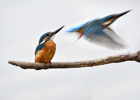 Common kingfisher (Alcedo atthis) lovely little blue bird with brown chest feathers flying passing behind other one perching on branch in river Stock Photo