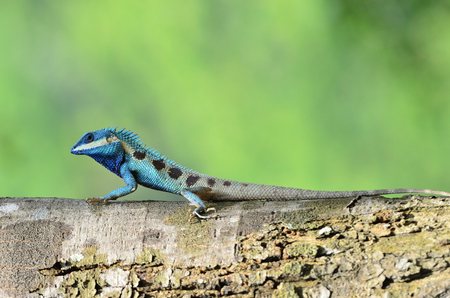 Moustached crested lizard or Blue lizard proudly clam up timber under fine lighting and blur green background in nature, exotic creature