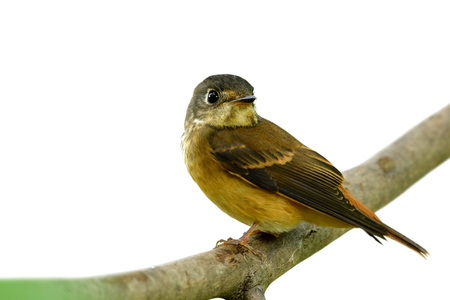 Beautiful brown bird perching on brach turn its face back showing detail of head face wings tail and legs isolated on white background, Ferruginous flycatcher (Muscicapa ferruginea)