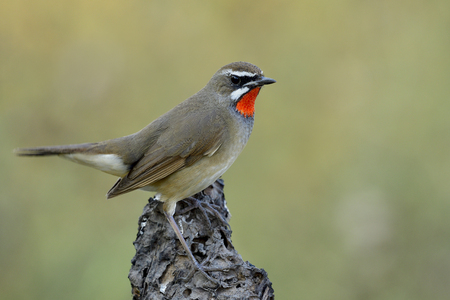 Close up of beautiful brown bird with bright red neck perching on dirt ground over green blur background in nature, Male of Siberian rubythroat (Calliope calliope)