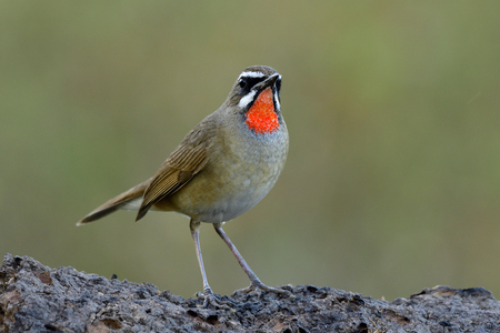 Male of Siberian rubythroat (Calliope calliope) beautiful bright red neck bird calmly perching on dirt ground over green blur background show its velvet red throat, fascinated animal