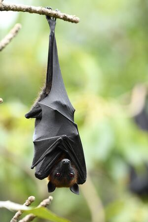 Scary bloody dracula eyes, hanging flying fox with red eye while day resting in fruit garden