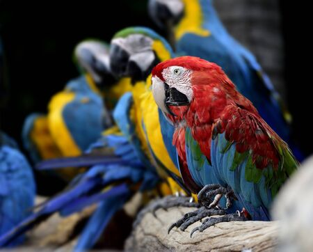 Green-winged perching among Blue-and-Gold macaws in beautiful moment