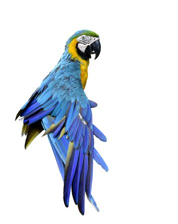 Beautiful Blue and Gold macaw parrot stretching its wings and puffy feathers isolated on white background, lovely animal pet