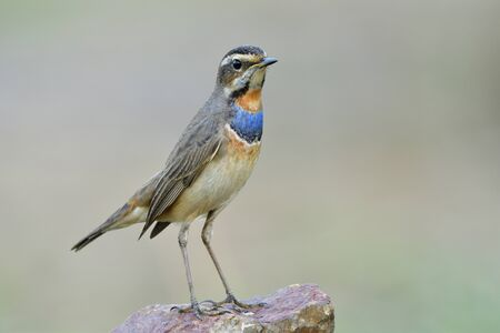 Slim Male of Bluethroat (Luscinia svecica) beautiful brown bird with blue and orange feathers on its chest to chin proudly standing on rock in nature environment