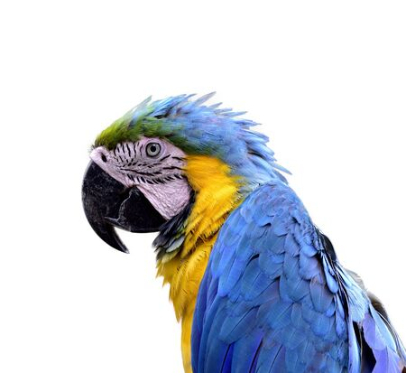 head shot of blue-and-yellow or blue-and-gold macaw (Ara ararauna), beautiful parrot with yellow feathers on its belly and blue wings in close up details