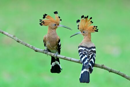 Pair of Common Hoopoe (Upupa epops) beautiful crested brown bird with black and white stripe wings flirting each other while proudly perching on wooden branch Stockfoto