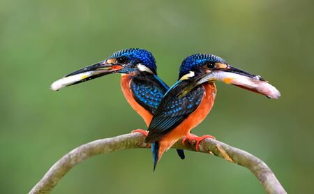 Pair parents of Blue-eared kingfisher, lovely vivid blue birds with bright brown belly carrying fresh fish in their mouth to feed baby chicks in nest hole, beautiful nature