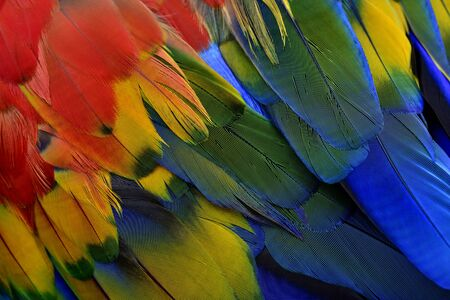 Beautiful texture of Scarlet macaw parrot bird feathers with shade of blue green yellow and bright red, fascinated nature background patterns