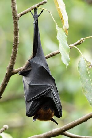Lazy fruit bat hanging on branch while day resting under tree bush, horror mystery animal in nature