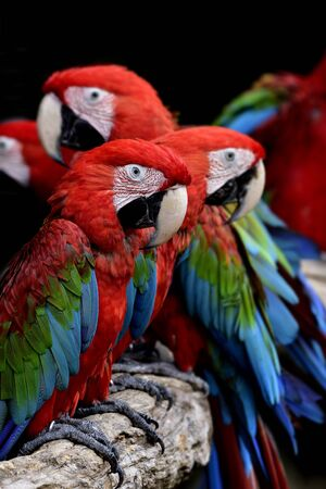 flock of green-winged macaws, beautiful red blue and green colors parrots perching togethers in lovely mood