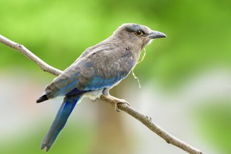 Beautiful naive grey to blue plumage bird perching on thin wooden twig over blur background in nature, Juvenile Indian roller  or Blue Jay Stockfoto
