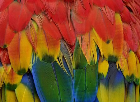 Close up sharp details of Scarlet macaw parrot bird feathers comprise of red, yellow, green and blue shade of bright and vivid colors