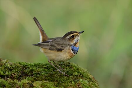 Beautiful little brown bird with velvet blue feathers on its chest lovely down standing on mossy grass over green background, male of bluethroat (Luscinia svecica)