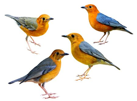 Colection of Orange-headed Thrush (Geokichla citrina) beautiful orange grey and yellow birds in different shade of plumage isolated on white background Stockfoto