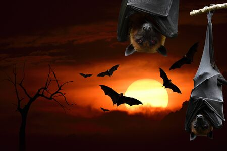 Halloween background with Sunset hanging and flying bats dark cloud over silhouette dried tree branch, horror night Stockfoto