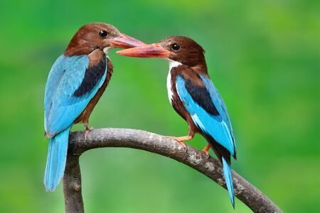 both male and female of White-throated Kingfishers, beautiful blue wings red beaks and brown head together perching on same branch, lovely pair birds 写真素材