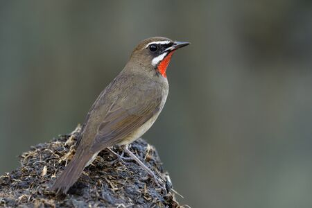 Lovely brown bird has a velvet red feathers as ruby stone on its chin perching on black dirt spot showing back side profile, Siberian rubythroat (Calliope calliope)