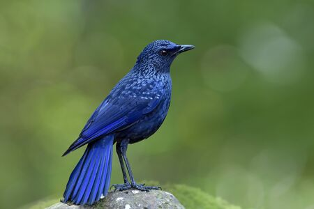 Blue whistling thrush (Myophonus caeruleus) mysterious dark blue bird with black bills morph standing on rock in stream over blur green background and bokeh lighting