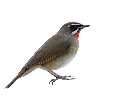 Chubbyl brown bird with velvet red feathers look a like ruby stone on its chin isolated on white background showing details of head to tail and toes, Siberian rubythroat (Calliope calliope)