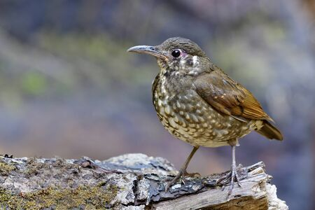 Dark-sided thrush (Zoothera marginata) Mysterious dark brown with long bill and short legs bird standing on rock in nature showing its front feathers profile