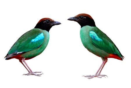 Twin Hooded or Chestnut-crowned pitta (Pitta sordida) beautiful green bird with brown head black face and red tail with crispy sharp details of feathers isolated on white background
