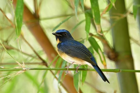 Male of Chinese blue flycatcher (Cyornis glaucicomans) perching in bamboo bush in its living environment while migrants to Wat Lam tha han in Kan chana buri, Thailand Foto de archivo
