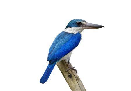 Beautiful Collared kingfisher (Todiramphus chloris) eoxotic white and blue bird perching on wooden pole turn into water color painting style over white background, fascinated nature art
