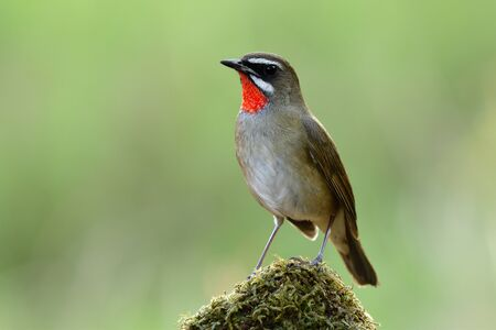 Siberian rubythroat (Calliope calliope) beautiful brown bird with bright red feathers on its neck standing over green mossy spot over blur background in nature