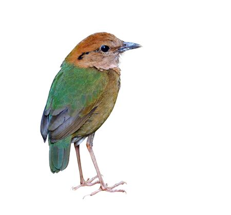 Rusty-naped pitta (Hydrornis oatesi) fascinated pale green back to tail and brown body to head bird isolated on white background, beautiful rare bird in Thailand