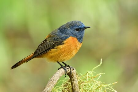 lovely chubby orange bird with blue head and wings quietly perching on twig expose over soft sunshine in morning, amaze wild nature