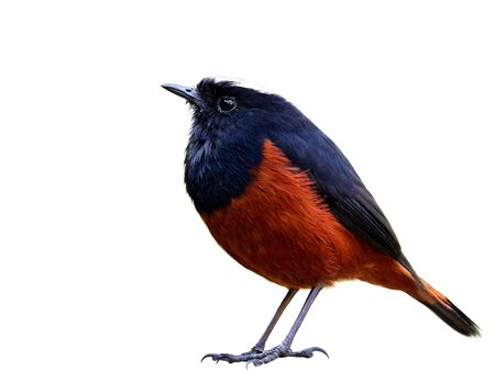 Beautiful fat brown and black bird with white feathers on its head showing detail from head face body wings tail legs and toes isolated on white background, White-capped water redstart