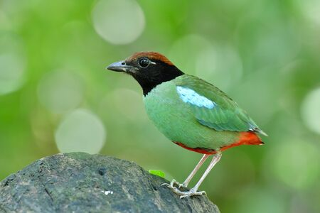 Fresh bright green bird with red vented black face and brown head calmly perching on clean log in nature, Chestnut-crowned or Hooded pitta (Pitta sordida) during breeding season in Thailand