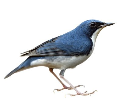 Siberian blue robin (Larvivora cyane) lovely small dark blue with white belly bird with fine feathers isolated on white background from head body to tail and toes, exotic creature