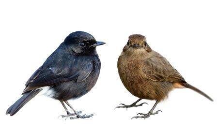 Both male and female of Pied Bushchat shwoing details from head beaks body tail to feet isolated on white background collection, Pied bushchat (Saxicola caprata)