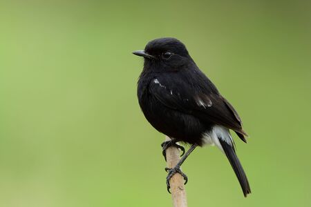 Black bird with white marking on its rump and out wings perching on wooden stick over fine green background in grassland, Male of Pied bushchat (Saxicola caprata)